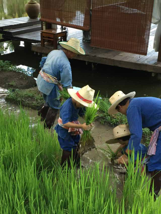 Rice planting activity for families at hotel four seasons Chiang Mai thailand