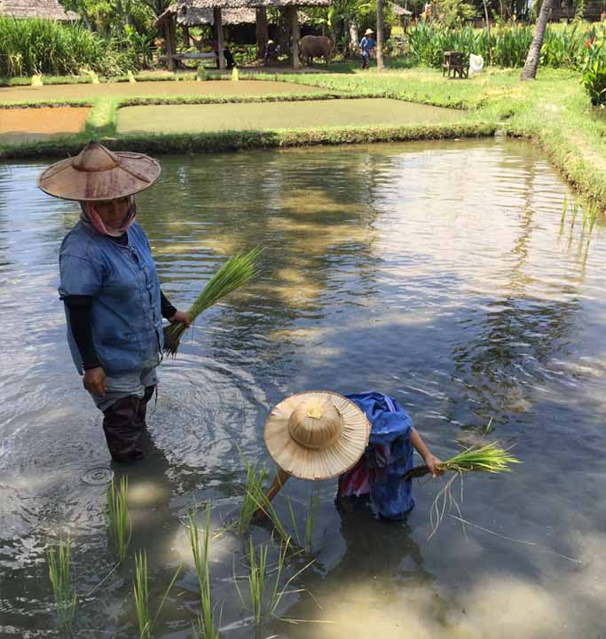 kids planting rice at kid friendly Hotel Dhara Dhevi Chiang Mai Thailand