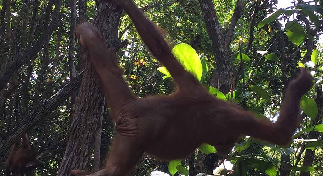 Orangutan reserve at hotel shangri-la Rasa Ria kota kinabalu