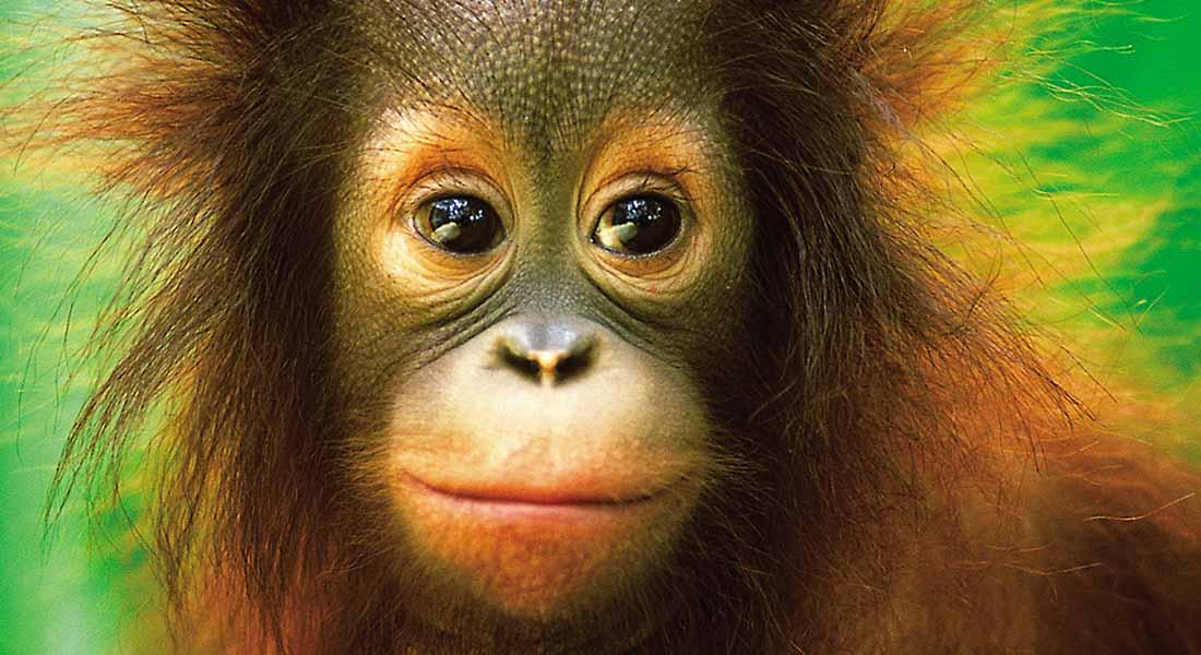 Orangutans at hotel shangri-la Rasa Ria kota kinabalu