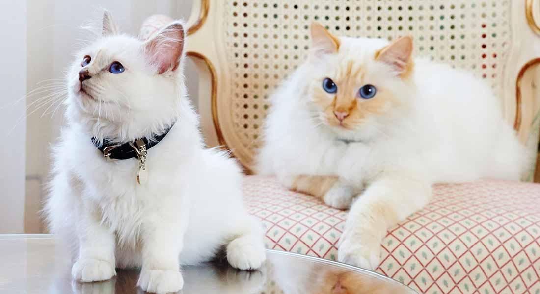 friendly cats at hotel le bristol paris